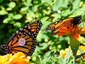 a pair of tagged monarch butterflies rest amonst the flowers of the pollinator gardens at Wedgewood Manor, Summerside
